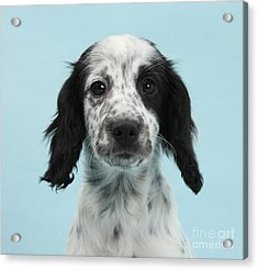 Border Collie X Cocker Spaniel Puppy Acrylic Print by Mark Taylor