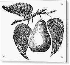 Botany: Pear Acrylic Print by Granger