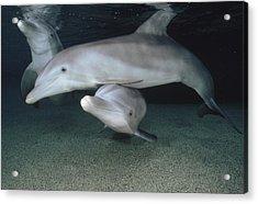 Bottlenose Dolphin Underwater Trio Acrylic Print by Flip Nicklin
