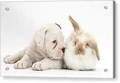 Boxer Puppy And Young Fluffy Rabbit Acrylic Print by Mark Taylor