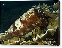 Broadclub Cuttlefish, Papua New Guinea Acrylic Print by Steve Jones