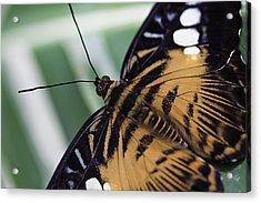 Brown Clipper Acrylic Print