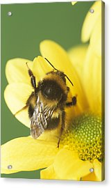 Bumble Bee Pollinating A Flower Acrylic Print by David Aubrey