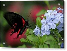 Butterfly Beauty Acrylic Print by Valia Bradshaw