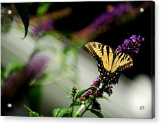 Butterfly Acrylic Print by Frank DiGiovanni