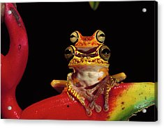 Chachi Tree Frog Hyla Picturata Pair Acrylic Print by Pete Oxford