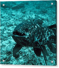 Coelacanth Fish Acrylic Print by Peter Scoones