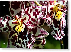 Cribet Exotic Orchids Acrylic Print by C Ribet