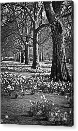 Daffodils In St. James's Park Acrylic Print