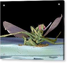 Dead Fly, Sem Acrylic Print by Volker Steger
