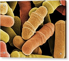 Dividing Yeast Cells, Sem Acrylic Print by Steve Gschmeissner