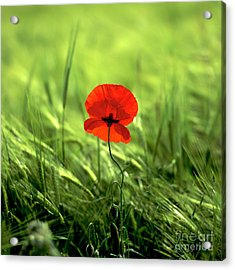 Field Of Wheat With A Solitary Poppy. Acrylic Print by Bernard Jaubert