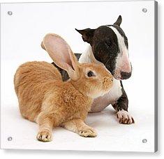 Flemish Giant Rabbit And Miniature Bull Acrylic Print