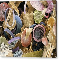 Fossilised Diatoms, Sem Acrylic Print by Steve Gschmeissner