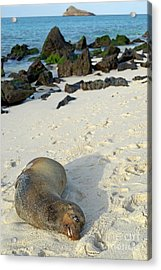 Galapagos Sea Lion Sleeping On Beach Acrylic Print by Sami Sarkis