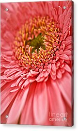 Gerbera Flower Acrylic Print