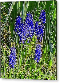 Acrylic Print featuring the photograph Grape Hyacinths by Holly Martinson