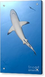 Gray Reef Shark With Remora, Papua New Acrylic Print by Steve Jones