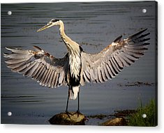 Great Blue Heron In The Marsh Acrylic Print by Paulette Thomas