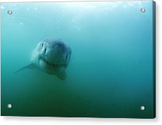 Great White Shark Acrylic Print by Alexis Rosenfeld