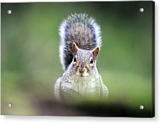 Grey Squirrel Acrylic Print