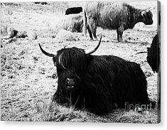 Herd Of Red And Black Highland Cattle Glencoe Highlands Scotland Uk Acrylic Print by Joe Fox