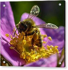 Honey Bee Acrylic Print by Brian Stevens