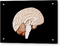Human Brain Acrylic Print by Richard Newstead