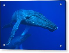 Humpback Whale Underwater Hawaii Acrylic Print by Flip Nicklin