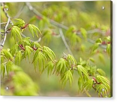 Japanese Maple (acer Palmatum) Acrylic Print by Adrian Bicker