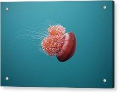 Jelly Fish Acrylic Print by Scott Portelli