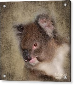 Koala Acrylic Print by Louise Heusinkveld