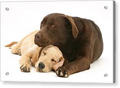 Labradoodle And Labrador Retriever Acrylic Print by Jane Burton