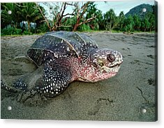 Leatherback Sea Turtle Dermochelys Acrylic Print by Mike Parry
