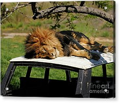 Lion Acrylic Print by Marc Bittan