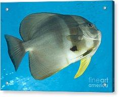 Longfin Spadefish, Papua New Guinea Acrylic Print by Steve Jones