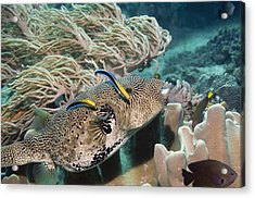 Map Pufferfish Acrylic Print by Georgette Douwma