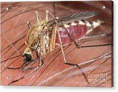 Mosquito Biting A Human Acrylic Print by Ted Kinsman