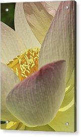 Nelumbo 'pink And Yellow' Acrylic Print