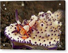 Nudibranch With Orange Emperor Shrimp Acrylic Print by Mathieu Meur