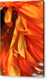 Orange Gerbera Daisy 4 Acrylic Print by Ronda Broatch