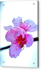 Acrylic Print featuring the photograph Peach Blossom by Puzzles Shum