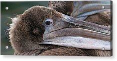Pelican Acrylic Print by Paul Marto