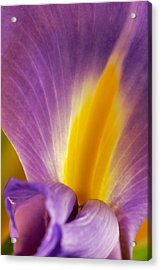 Photograph Of A Dutch Iris Acrylic Print by Perla Copernik