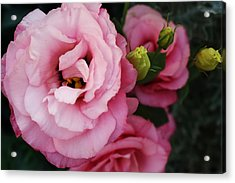 Pink Delight Acrylic Print by Bruce Bley