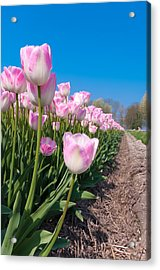 Acrylic Print featuring the photograph Pink Tulips by Hans Engbers