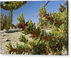 Pinus Longaeva Acrylic Print by Bob Gibbons