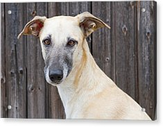 Portrait Of Dog Acrylic Print by Elke Vogelsang