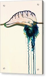 Portuguese Man-of-war Acrylic Print by Georgette Douwma