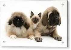 Puppies And Kitten Acrylic Print by Jane Burton
